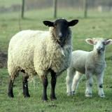6_Sheeps.jpg