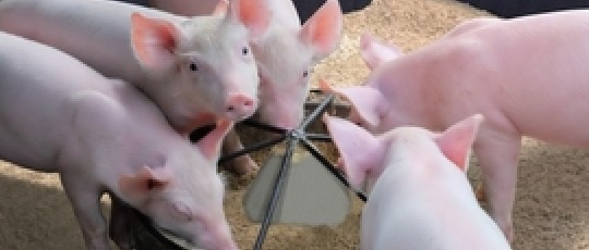 ZeoFeed Benefits for Pigs